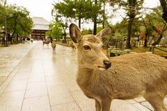Rotwild vor einem Tempel in Nara, Japan Stockfoto