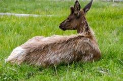 Rotwild in Yellowstone Nationalpark Stockfotografie