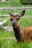 Rotwild in Yellowstone Nationalpark Lizenzfreies Stockfoto