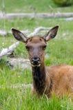 Rotwild in Yellowstone Nationalpark Lizenzfreies Stockbild