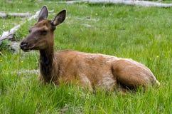 Rotwild in Yellowstone Nationalpark Lizenzfreie Stockfotografie