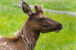 Rotwild in Yellowstone Nationalpark Lizenzfreie Stockfotos