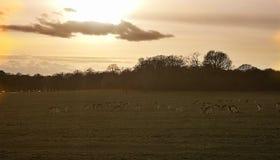 Rotwildanvisieren im Sonnenuntergang bei Richmond Park, London stockfotografie