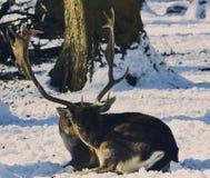 Rotwilddollar am Pflegen im Winter Lizenzfreies Stockfoto