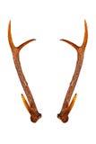 Rotwildhörner lokalisiert auf dem weißen Hintergrund Stockfoto