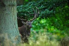 Rotwildhirsch, brüllen majestätisches starkes erwachsenes Tier außerhalb des Herbstwaldes, versteckt in den Bäumen, großes Tier i lizenzfreies stockfoto