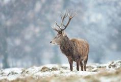 Rotwildhirsch, der aus den Grund umfasst mit Schnee steht stockfotografie