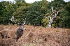 Rotwildhirsch während der Brunst im Herbst Stockfoto