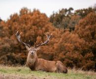 Rotwildhirsch während der Brunst im Herbst Lizenzfreies Stockfoto