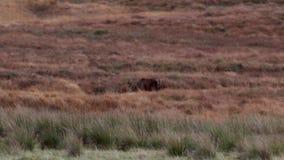 Rotwildhirsche und hinds, Cervus elaphus, laufend und lassen unter den grasartigen Steigungen im Sutherland, Nord-Schottland währ stock video