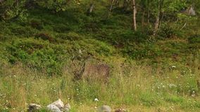 Rotwildmann am Rand des Waldes stock video footage