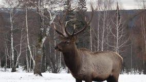 Rotwildporträt beim Betrachten Sie in der Winterzeit stock video footage