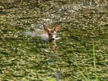 Rotwildschwimmen Lizenzfreies Stockfoto