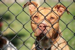 Rotwiler pies za ogrodzeniem Obraz Stock