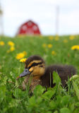 Rouen Duckling Royalty Free Stock Photo