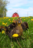 Rouen Ducklings Royalty Free Stock Image