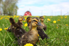 Rouen Ducklings Stock Image
