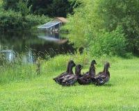 Rouen ducks Stock Photo
