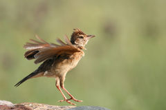 Roufus-Naped Lark. Flapping and calling from his perch Stock Photo