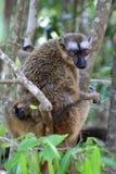 Rouge, affronté, Brown, lemur Images libres de droits