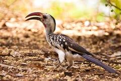 rouge au sol affiché de hornbill d'oiseau Photo stock