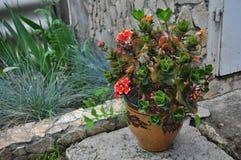 Rouge avec la fleur jaune de kalanchoe Images stock