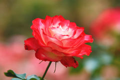 Rouge avec la rose de blanc Photos libres de droits