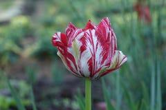 Rouge avec la tulipe blanche dans le jardin Photographie stock libre de droits