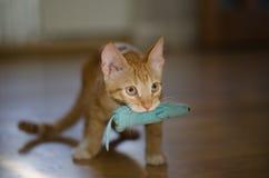 Rouge avec le chat blanc Photo libre de droits