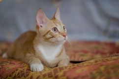 Rouge avec le chat blanc Images stock