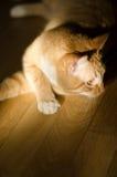 Rouge avec le chat blanc Image stock