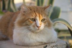 Rouge avec le chat extérieur pelucheux blanc Photos libres de droits
