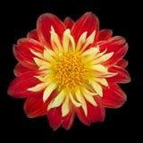Rouge avec le dahlia jaune photos libres de droits