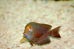 Rouge avec les poissons blancs de pistes Photo libre de droits