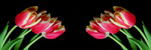 Rouge avec les tulipes jaunes Photo libre de droits