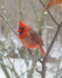 Rouge, Cardinal-Mâle Photo stock