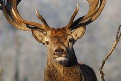 Rouge-cerfs communs Photo stock