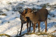 Rouge-cerfs communs Photographie stock libre de droits