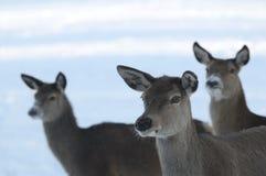 Rouge-cerfs communs Image stock