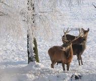 Rouge-cerfs communs en hiver Photos libres de droits