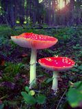 Rouge-champignons de couche Photo stock