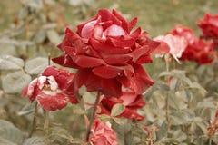 Rouge-crémeux s'est levé mourant dans le jardin d'automne Fané s'est levé Humeur triste de chute Roses de fanage dans la chute Co Image stock