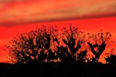 Rouge, cramoisi, orange, ciel de coucher du soleil d'écarlate avec la silhouette noire de buisson Backgrou orange rouge vibrant c image libre de droits