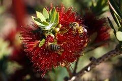 Rouge délicieux et le plaisir pour des abeilles Photographie stock