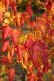 Rouge d'érable d'automne Photo libre de droits