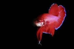 rouge de betta photographie stock libre de droits