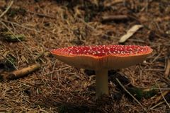 Rouge de champignon Photographie stock