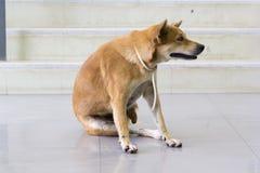 Rouge de chien démangeant l'éraflure d'A photos stock