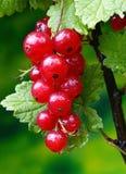 Rouge de corinthe Image stock