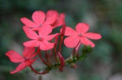 Rouge de fleur images libres de droits
